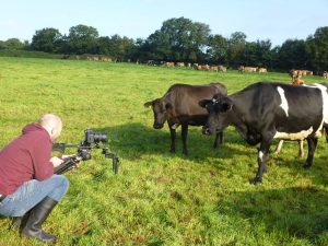 LimeGreen Marketing videoing cows for P4 Rapid